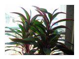 кордиллина с малиновыми полосками Фотограф: vikirin  Просмотров: 3434 Комментариев: 0