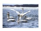 Лебеди в Охотском  Просмотров: 2221 Комментариев: 0