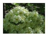 Цветы рябины Фотограф: vikirin  Просмотров: 4963 Комментариев: 0