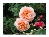 Название: DSC07429_н Фотоальбом: Розы в сквере музея Категория: Цветы  Время съемки/редактирования: 2016:07:29 14:13:30 Фотокамера: SONY - DSC-HX300 Диафрагма: f/5.6 Выдержка: 1/250 Фокусное расстояние: 8032/100    Просмотров: 45 Комментариев: 0