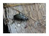 Название: Жужелица. Фотоальбом: Жуки, насекомые, бабочки  и прочая живность Сахалина Категория: Макросъёмка Фотограф: 7388PetVladVik  Просмотров: 3201 Комментариев: 0
