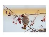 Птички  Свиристель с добычей ))   Просмотров: 43  Комментариев: 0