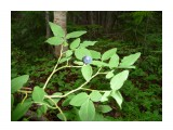 А это, ягоды урожая этого года, Сахалинской Голубики. Пришла также пора, ее собирать! Фотограф: viktorb  Просмотров: 1105 Комментариев: 0