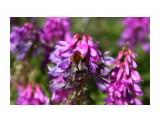 Цветы прибрежные щедры на красоту.. Фотограф: vikirin  Просмотров: 1411 Комментариев: 0
