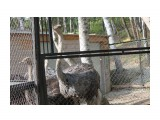 Название: Любопытные страусы Фотоальбом: 2014 09 21 В Южном.. Дельфины.. Закрытие фестиваля. Зоопарк.. Категория: Животные Фотограф: vikirin  Просмотров: 1147 Комментариев: 0