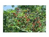 Кубань Фотограф: gadzila Поспела вишня в саду у дяди Вани...  Просмотров: 556 Комментариев: 0