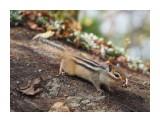 Название: Бурундучок Фотоальбом: Бурундуки Категория: Животные Фотограф: Vangeliya  Просмотров: 309 Комментариев: 0