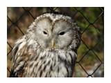 Название: DSC01603 Фотоальбом: Осень в зоопарке Категория: Животные Описание: Неясыть.  Просмотров: 108 Комментариев: 1