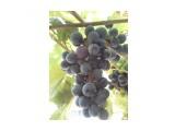 Название: виноград Фотоальбом: Разное Категория: Природа  Время съемки/редактирования: 2010:08:23 12:09:43 Фотокамера: Sony Ericsson - W995 Диафрагма: f/2.8 Выдержка: 1/15 Фокусное расстояние: 455/100   Описание: мой сад  Просмотров: 351 Комментариев: 0