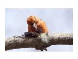 Название: Клёст-еловик, самец молодой Фотоальбом: Птички Категория: Животные Фотограф: VictorV  Время съемки/редактирования: 2021:04:26 21:40:43 Фотокамера: SONY - ILCA-77M2 Диафрагма: f/6.3 Выдержка: 1/640 Фокусное расстояние: 6000/10    Просмотров: 119 Комментариев: 1