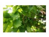 Дубы на Сахалине растут, цветут.. Фотограф: vikirin  Просмотров: 497 Комментариев: 0