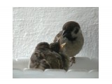 Название: кормёжка Фотоальбом: мой птичник на балконе Категория: Животные  Время съемки/редактирования: 2011:07:04 11:22:46 Фотокамера: OLYMPUS IMAGING CORP.   - SP570UZ                 Диафрагма: f/4.7 Выдержка: 10/8000 Фокусное расстояние: 6285/100 Светочуствительность: 640  Описание: Птенцы сидят в еде и их кормят!  Просмотров: 675 Комментариев: 0
