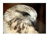 Название: DSC01611 Фотоальбом: Осень в зоопарке Категория: Животные Описание: Канюк.  Просмотров: 161 Комментариев: 0