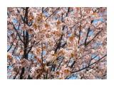 Сакура цветет  Просмотров: 87 Комментариев: 0
