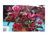 Декоративная яблонька сорта Ройялт Фотограф: vikirin  Просмотров: 465 Комментариев: 0