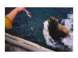 Смертельный номер!!! Кормим дикого сивуча Охотское море. Западная Камчатка  Просмотров: 5614 Комментариев: 5