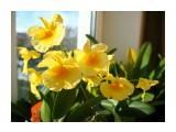 Dendrobium aggregatum  Просмотров: 617 Комментариев: