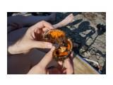 Вот прямо сырую икру и едят.. Фотограф: vikirin  Просмотров: 517 Комментариев: 0