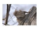 Белка-летяга или летучая белка (Pteromys volans) Фотограф: Tsygankov Yuriy  Просмотров: 85 Комментариев: 0