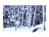 Заснеженный январский лес Фотограф: vikirin  Просмотров: 2992 Комментариев: 0