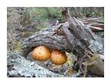 Название: Древесный гриб (Чешуйчатка золотистая). Фотоальбом: Грибы 2014г. Категория: Природа  Просмотров: 395 Комментариев: 0