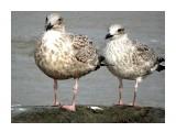 DSC01400 Молодые чайки.  Просмотров: 513 Комментариев: 0
