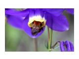 Пчелка в водосборе Фотограф: vikirin  Просмотров: 1683 Комментариев: 0