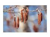 Ольховые серьги.. Фотограф: vikirin  Просмотров: 2593 Комментариев: 0
