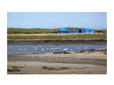 Возле рыбацкого стана чайки прикормлены как куры.. Фотограф: vikirin  Просмотров: 2772 Комментариев: 0