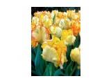 Название: Тюльпаны. Фотоальбом: Цветы Категория: Цветы  Просмотров: 33 Комментариев: 0