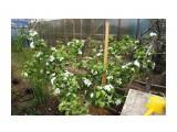 Плодовые яблони, цветут не так обильно, зато урожайс каждого цветка Фотограф: vikirin  Просмотров: 461 Комментариев: 0