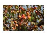 Название: Поздние яблочки.. В саду Орловой Т.Д. Фотоальбом: ОСЕНЬ... Категория: Природа Фотограф: vikirin  Просмотров: 1461 Комментариев: 0