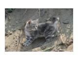Название: бобтейл Фотоальбом: кошки Категория: Животные  Просмотров: 560 Комментариев: 0