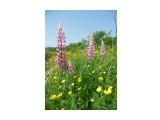 Цветы Сахалина! Цветущие Люпины, цветы для чей то души! Фотограф: viktorb Окр. Южно-Сахалинска!  Просмотров: 1437 Комментариев: 0