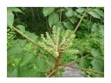 Вот так цветет Аралия на Сахалине! Фотограф: viktorb  Просмотров: 791 Комментариев: 0