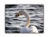 Лебеди  Просмотров: 549 Комментариев: 2