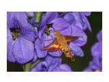 Название: БРАЖНИК. (Бабочка, которая не садится на цветок, а зависает над ним в воздухе, как и колибри. Развивает скорость до 50 км/час). Фотоальбом: Жуки, насекомые, бабочки  и прочая живность Сахалина Категория: Макросъёмка Фотограф: 7388PetVladVik  Просмотров: 6474 Комментариев: 0