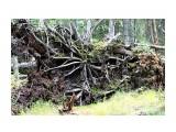 Название: Чем держалось упавшее огромное дерево? Корни на поверхности..  Фотоальбом: 2010-2009 09 26 сб / 2008 10 3-4  Тэнге Категория: Природа Фотограф: vikirin  Время съемки/редактирования: 2010:10:10 12:10:43 Фотокамера: Canon - Canon EOS Kiss X3 Диафрагма: f/5.6 Выдержка: 1/50 Фокусное расстояние: 55/1 Светочуствительность: 1600   Просмотров: 3354 Комментариев: 0
