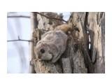 Белка-летяга или летучая белка (Pteromys volans) Фотограф: Tsygankov Yuriy Играем? :)  Просмотров: 183 Комментариев: 1