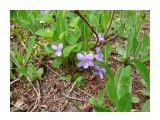 Как зовут синенькие цветы? Фотограф: viktorb о. Сахалин, Яблоневый перевал!  Просмотров: 1055 Комментариев: 1