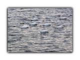 Лебеди  Просмотров: 332 Комментариев: 0