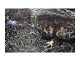 Может быть это молодой орлан белохвост...