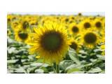 растения  Подсолнухи КУБАНИ  Равнение на СОЛНЦЕ   Просмотров: 31  Комментариев: 0