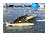 Изменчивое  рыбка   Просмотров: 1601  Комментариев: 1