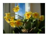 Dendrobium aggregatum  Просмотров: 271 Комментариев: