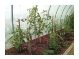 IMG_20200610_092755 10,06,2020, Разница с соседскими помидорами огромна  Просмотров: 785 Комментариев: