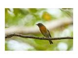 Птички  Mugimaki Flycatcher  Таёжная мухоловка   Просмотров: 113  Комментариев: 1