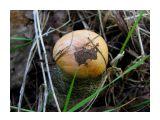 Маленький вкусный подосиновик Фотограф: vikirin  Просмотров: 4215 Комментариев: 0