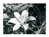 """Сахалин.  Цветок """" Саранка"""". Фото давнишнее, сделано в районе оз. Тунайча.  Просмотров: 126 Комментариев: 0"""