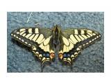 ANISE SWALLOWTAIL Фотограф: VictorV Papilio zelicaon  Просмотров: 1366 Комментариев: 1